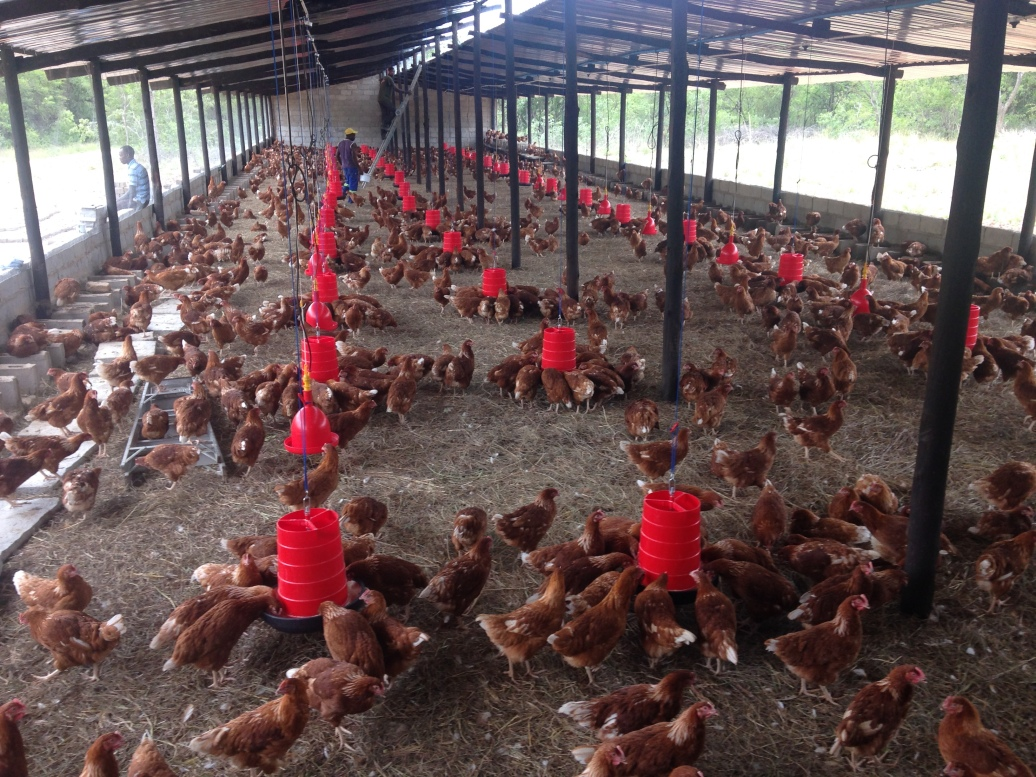 This is about 1,800 Hyline Laying Hens. The other 700 birds will be arriving tomorrow morning bringing us to full capacity on this house.
